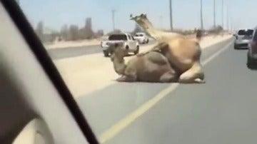 Frame 7.258675 de: Las sorprendentes imágenes de dos camellos copulando en medio de la carretera
