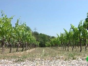 Viñedos catalanes afectados por el cambio climático