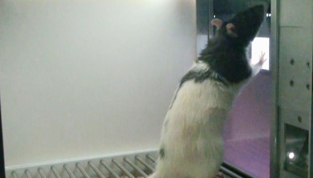 Una de las ratas durante el estudio