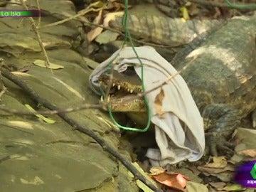 Los aventureros cazando al caimán en La Isla