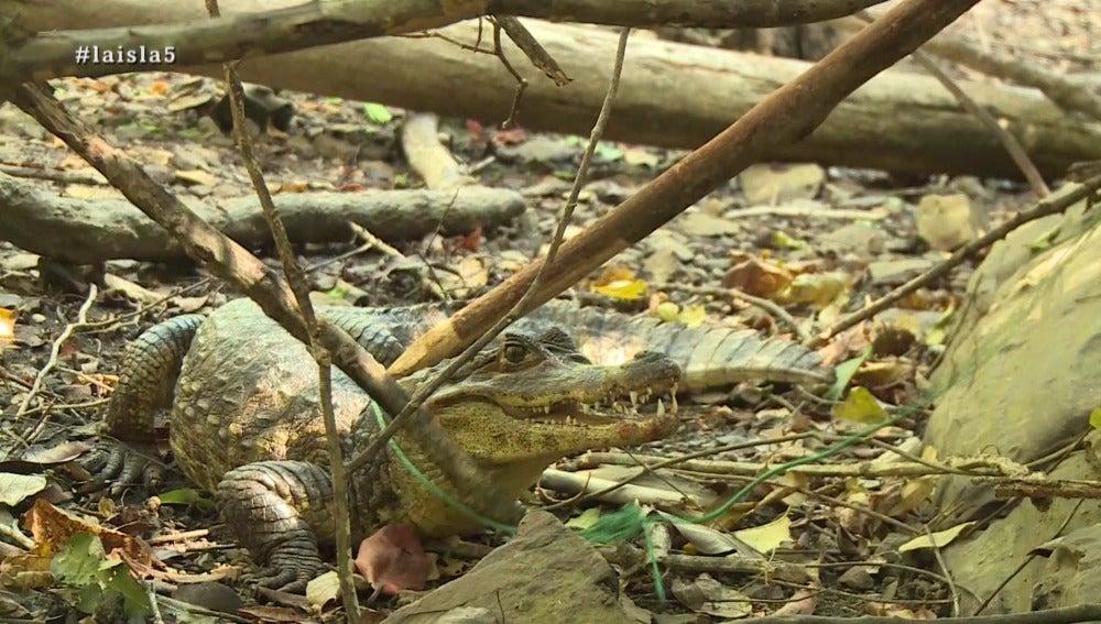 Un caimán en La Isla