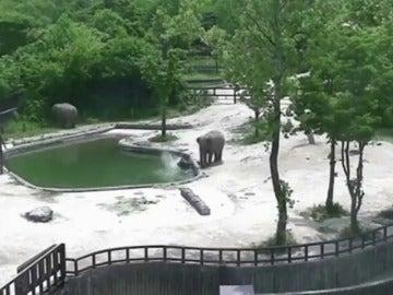 Dos elefantes logran rescatar a una cría a punto de morir ahogada