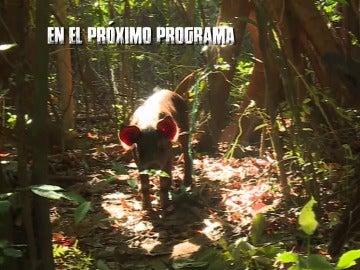 Un jabalí en La Isla