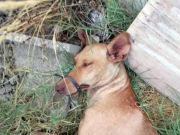 Rescatan a una perra con la boca y las patas atadas