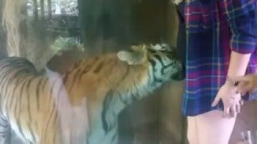 Momento en el que el tigre se acurruca en la tripa de una mujer embarazada