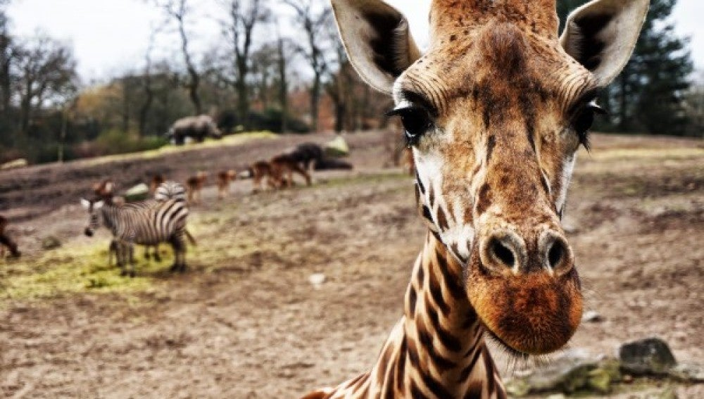 Se han registrado muertes de jirafas golpeadas por un rayo en distintos zoológicos y reservas naturales
