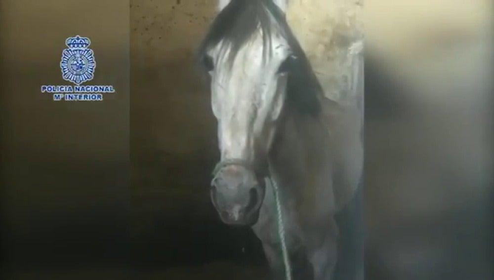 Rescatan a dos caballos, una mula y una yegua deshidratados en Vélez-Málaga y detienen al dueño por maltrato animal