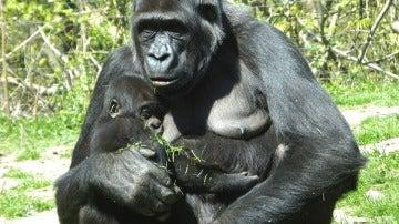 Imagen de archivo de una cría de gorila y su madre