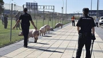 Cerdos en la ciudad de Soria arrinconados por la Policía