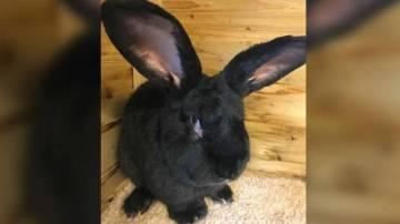 Simon, el conejo gigante, estaba en buen estado antes del vuelo