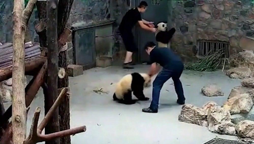 Los cuidadores arrastrando a los osos panda