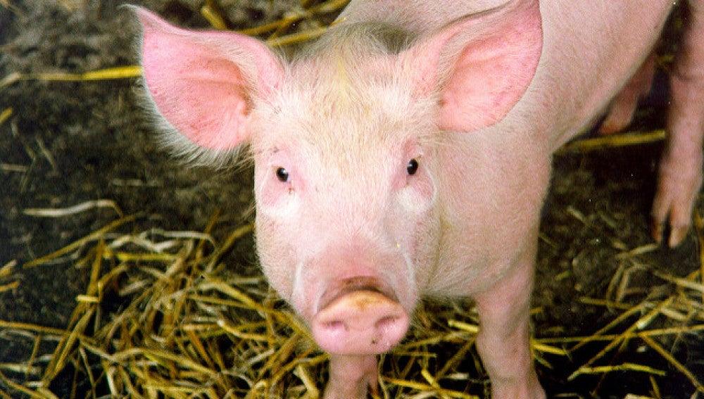 La tecnica CRISPR elimina por primera vez retrovirus en cerdos vivos