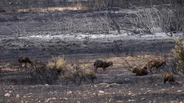 Unas ovejas pasean por una zona calcinada por el fuego