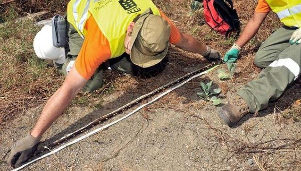 Expertos del Gobierno de Canarias capturan culebras de California en Telde, Gran Canaria