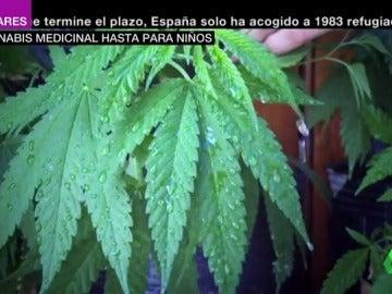 España debate la legalización de cannabis como uso medicinal