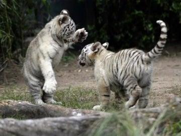 Dos cachorros de tigre blanco