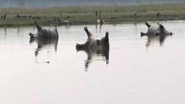 Imagen de los hipopótamos muertos en el Parque Nacional de Bwabwata