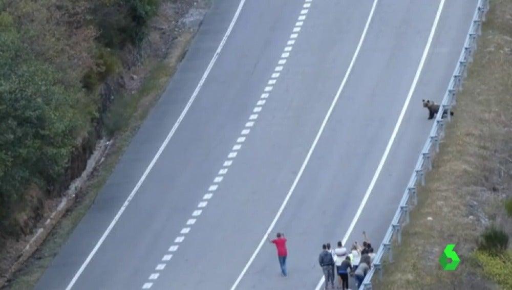 Los turistas acosan a los osos pardos del Alto Sil en León