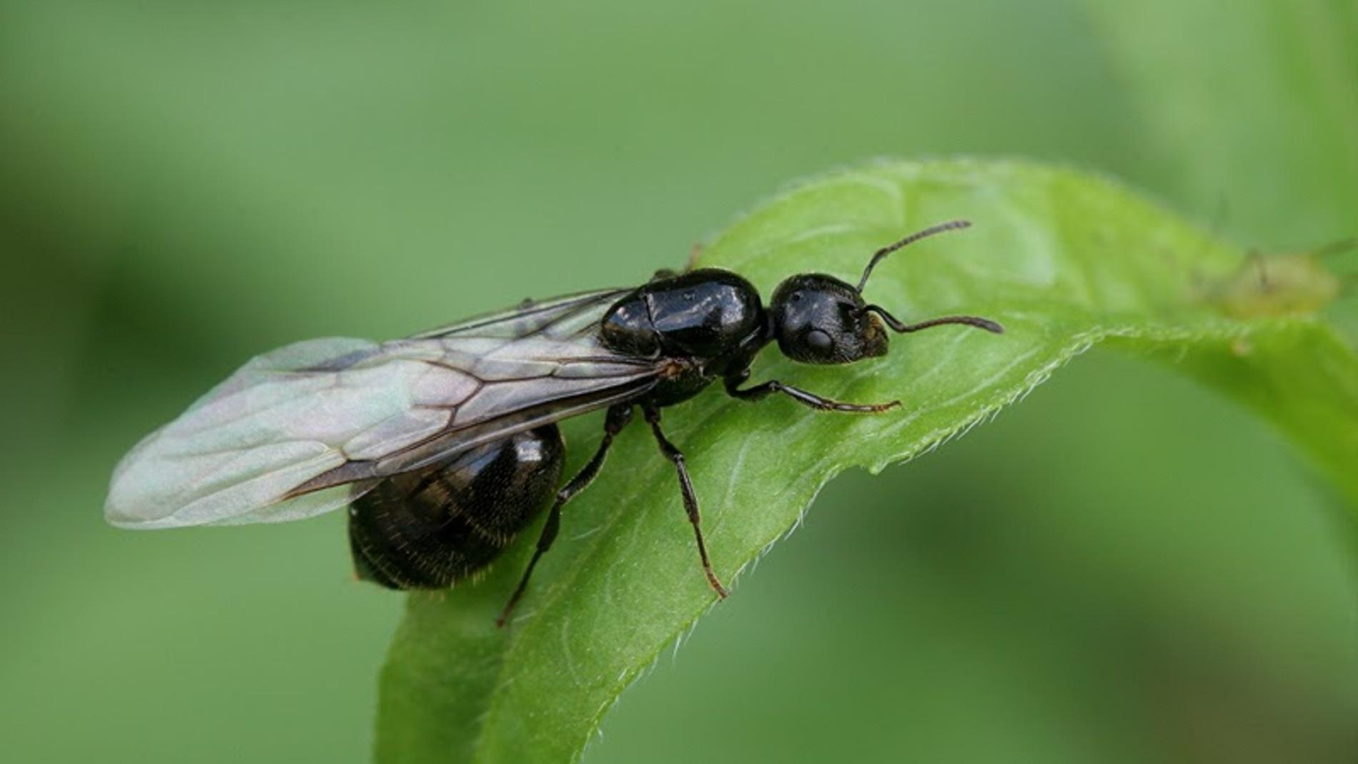 Hormiga voladora