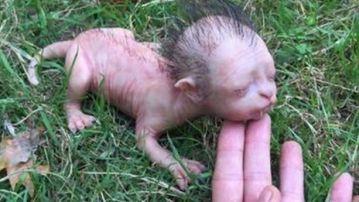 Supuesta criatura encontrada en Malasia