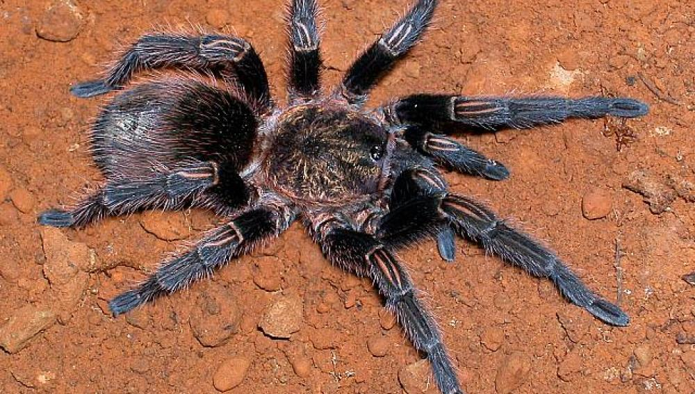 Veneno de tarantula para probar un mejor tratamiento del dolor por quemaduras