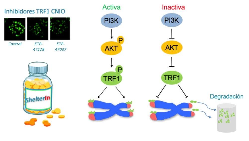 La vía PI3K y TRF1, protector del telómero, están funcionalmente conectados / CNIO