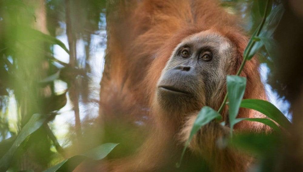 Una nueva especie de orangutan descubierta en Sumatra esta casi extinta