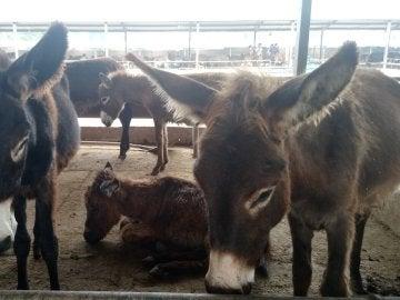 PETA denuncia el maltrato a burros en China para extraer materias primas utilizadas en medicina tradicional