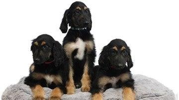 Los clones del primer perro clonado