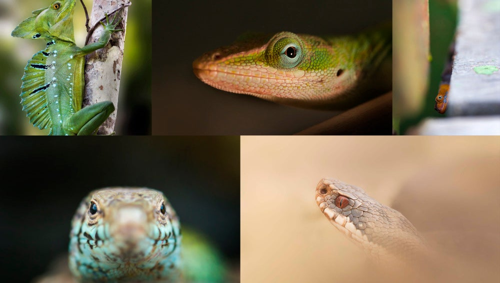 Asi evolucionaron las glandulas para la comunicacion entre reptiles
