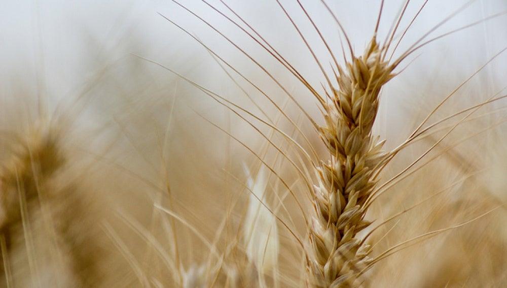 Un nuevo tipo de trigo sin gluten y sin efectos adversos para la salud
