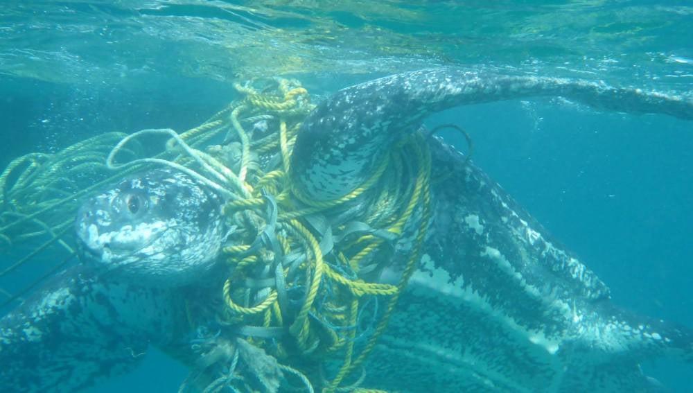 Cientos de tortugas marinas mueren cada año enredadas en basura