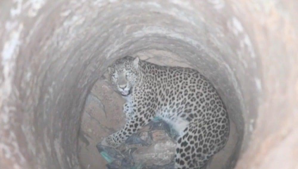 El leopardo atrapado en un pozo seco