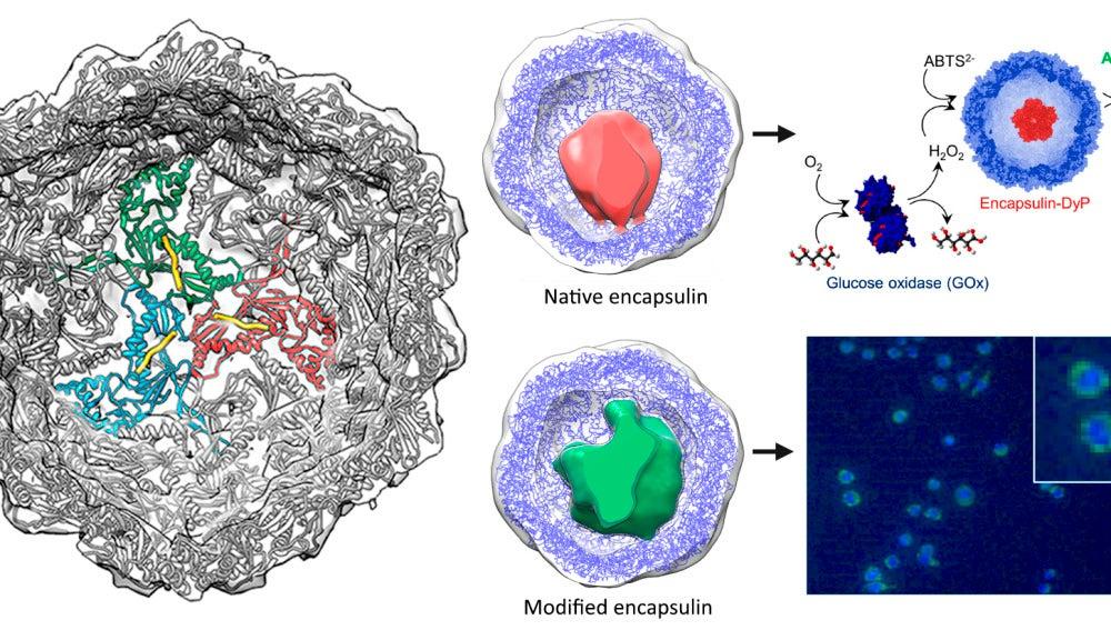 Capsulas bacterianas podrian ser utiles como agentes terapeuticos o biosensores