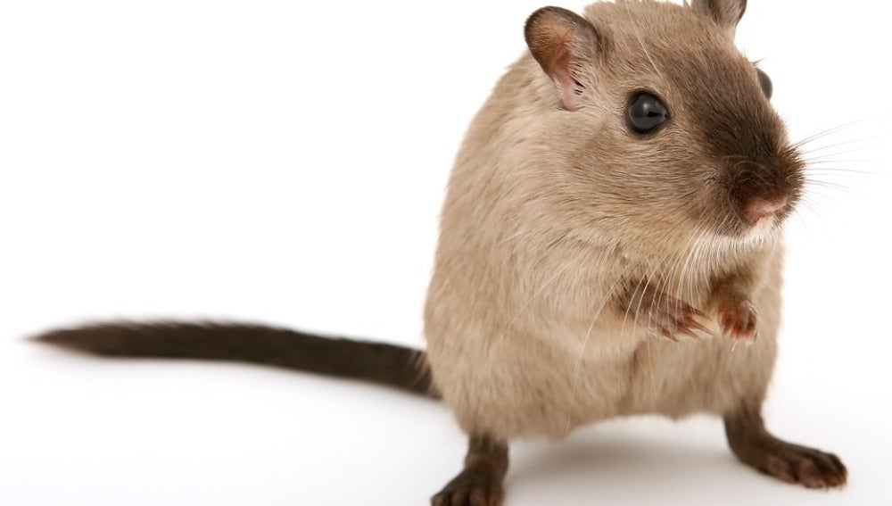 El ejercicio fisico moderado mejora sintomas del sindrome de Marfan en ratones