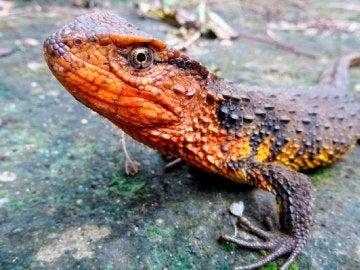 Un lagarto cocodrilo descubierto en el sudeste asiático