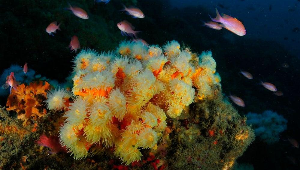 Cuatro especies de corales en peligro seran protegidas en el Mediterraneo