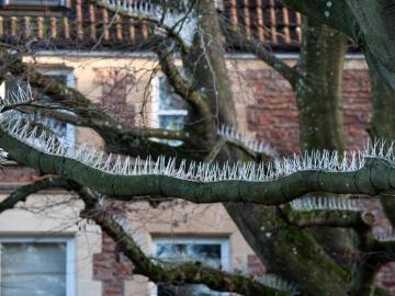 Árboles con pinchos antiaves en Bristol
