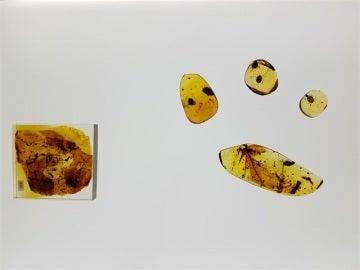 Encuentran en Cantabria la garrapata más antigua del mundo que vivió hace 105 millones de años