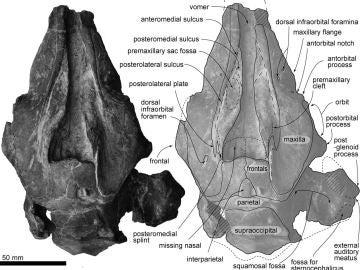 Ilustración del cráneo del delfín que vivió hace 30 millones de años