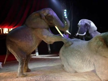 Un grupo de elefantes en un circo de animales