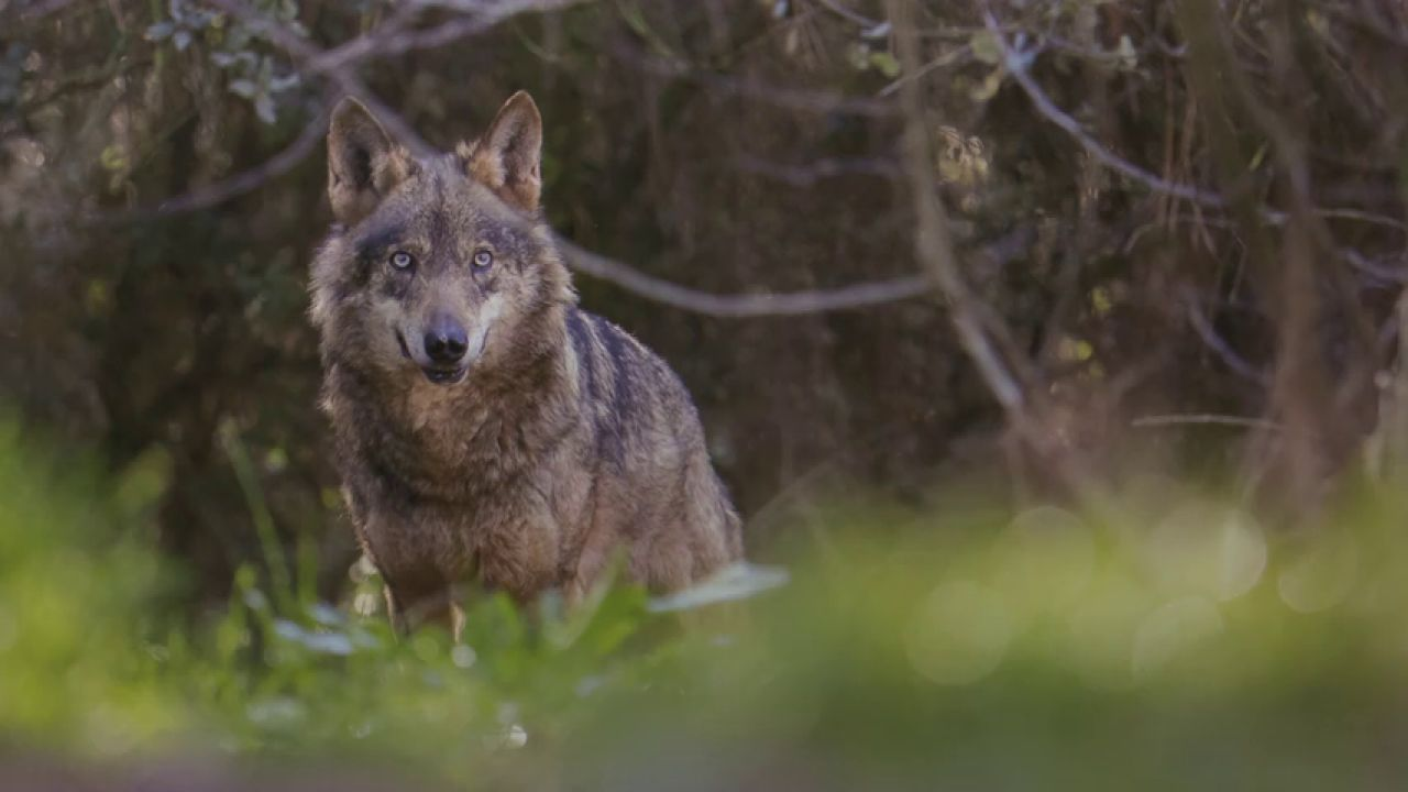 Imagen de archivo de un lobo