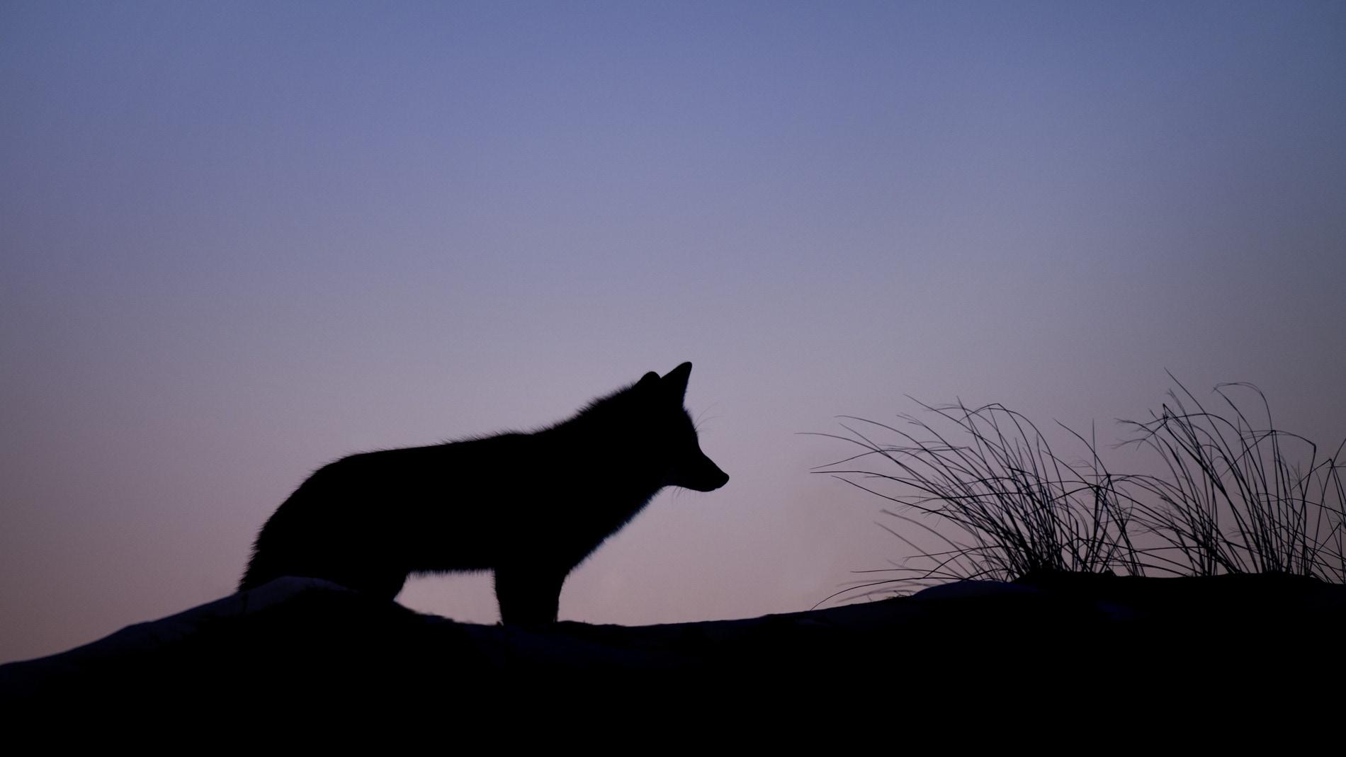 Los lobos comen sus propias deposiciones para que las larvas no eclosionen y contaminen sus guaridas