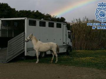 Imagen de la Policía Nacional de uno de los caballos rescatados