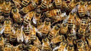 Las abejas de la miel compiten con las salvajes por el mismo habitat