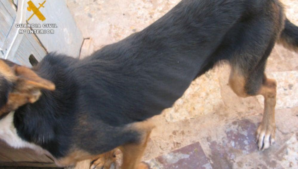 Uno de los perros rescatados por el Seprona tras vivir sin agua ni comida
