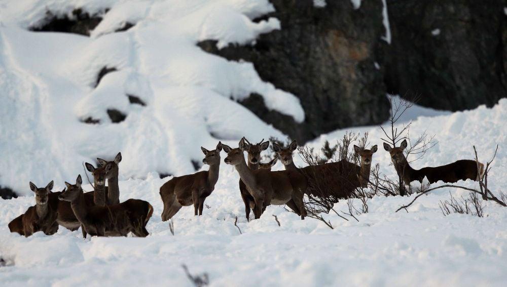 Venados entre la nieve en el concejo de Aller