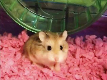 Pebbles, el hámster de la joven