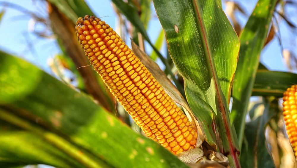 Imagen de una mazorca de maíz