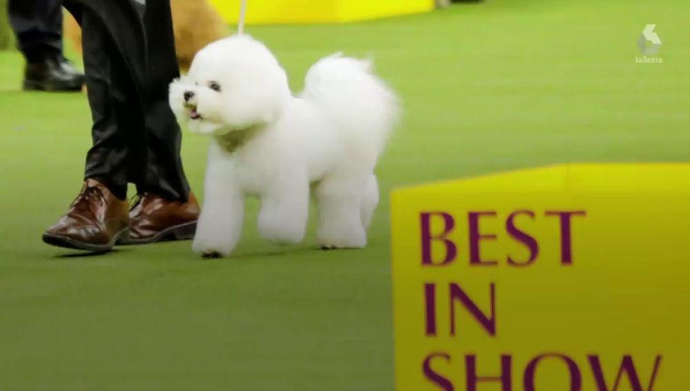 Este es Flynn, el ganador del Westminster Dog Show, el certamen canino más importante del mundo